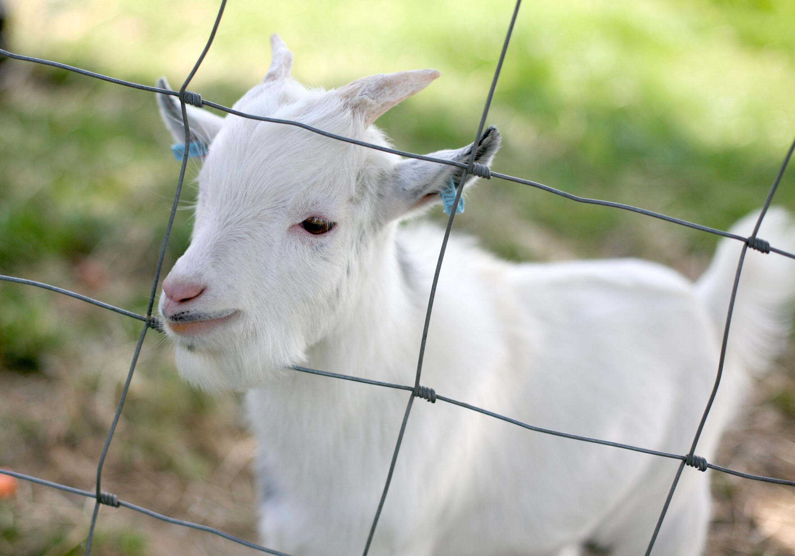 Goat kid